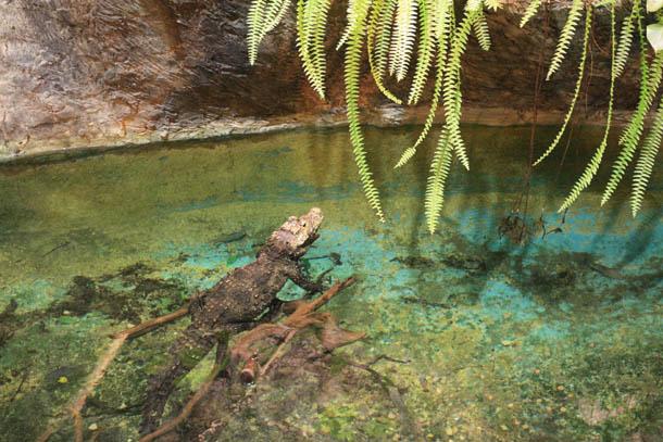 Крокодил в зоопарке Риги