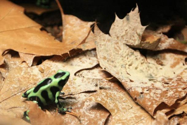 лягушка черно-зеленая пятнистая