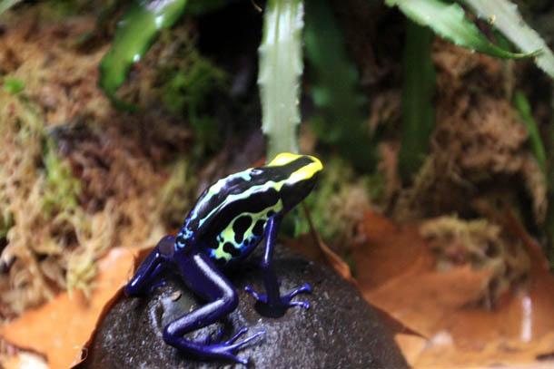 лягушка цветная фиолетовая