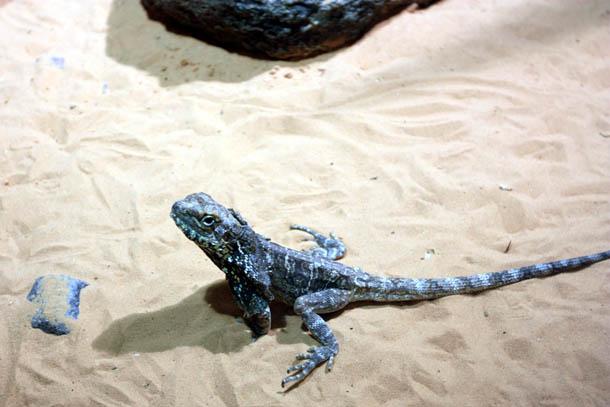 Геррозавр большой