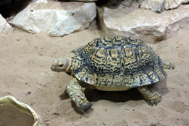 Черепаха леопардовая