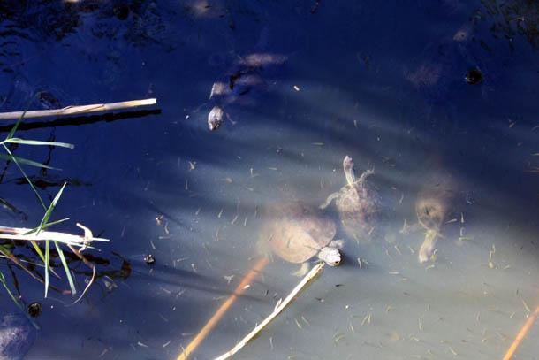 Колония черепах
