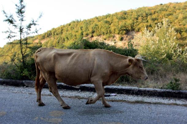 корова на трассе
