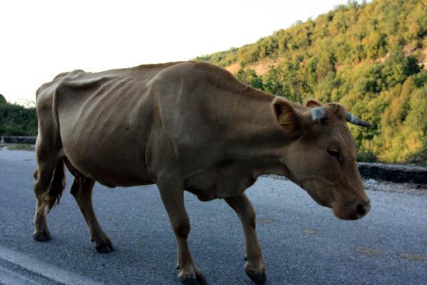 корова на трассе в Греции