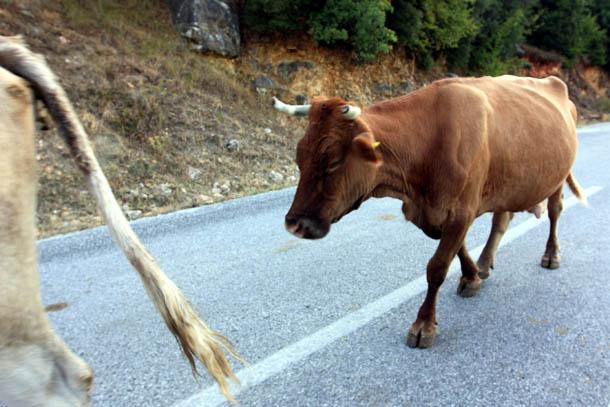 стадо коров на дороге