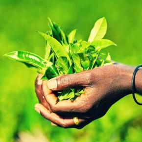 Чайные плантации Шри-Ланки — подборка фото