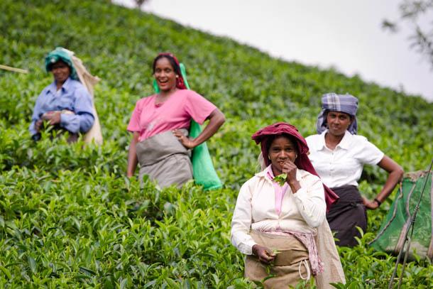 сборщики чая на плантации