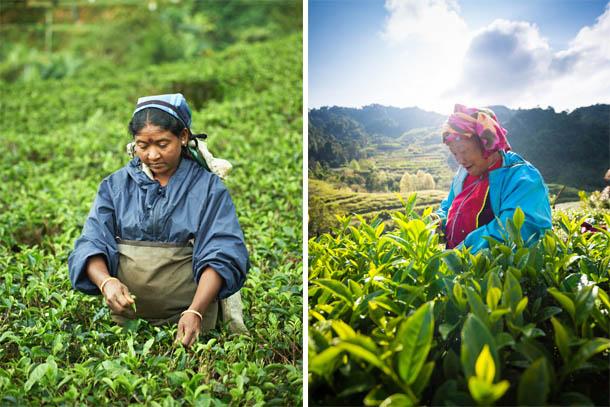 труженики на чайной плантации