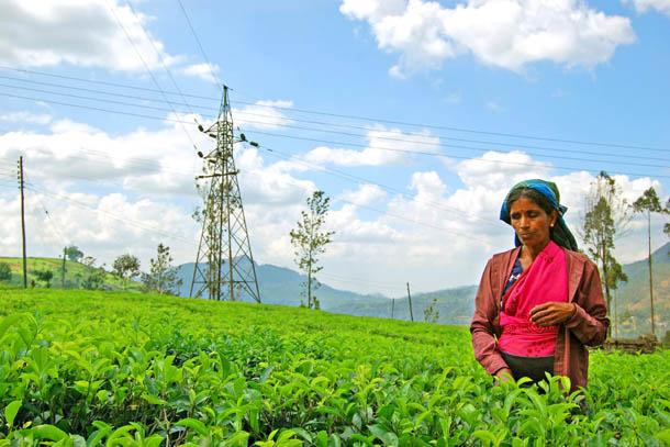 сборщица чая на плантации
