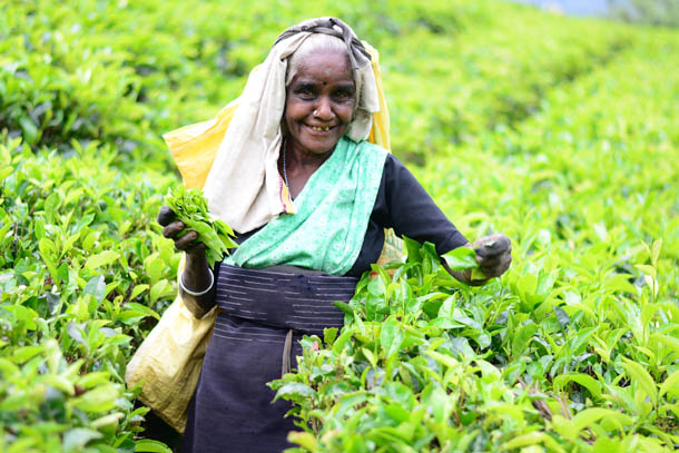 на чайной плантации