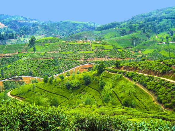 Вид на чайную плантацию