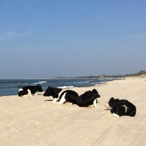 Необычные посетители на пляже