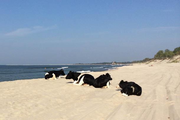 коровы на пляже