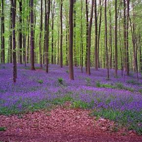 Халлербос – уникальный лес в Бельгии