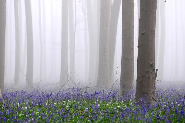 Лес Халлербос во время тумана