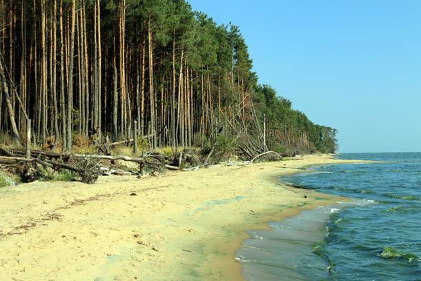лес на берегу Куршского залива