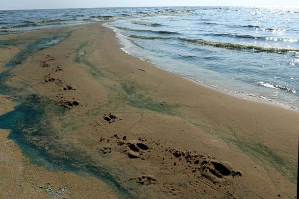 следы диких животных на песке