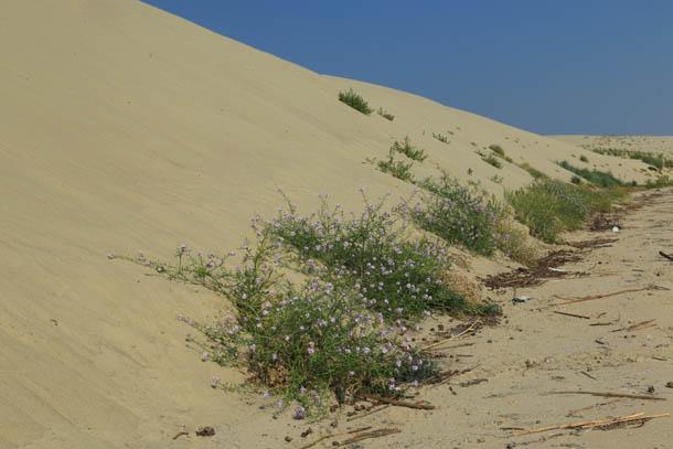 растительность на дюнах