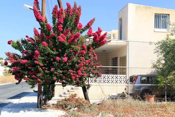 цветущее дерево на Кипре