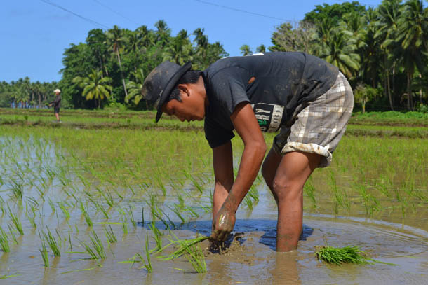 Филиппины остров Сиаргао. Рисовое поле