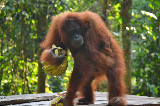 Букит Лаванг. Суматра. Орангутанг