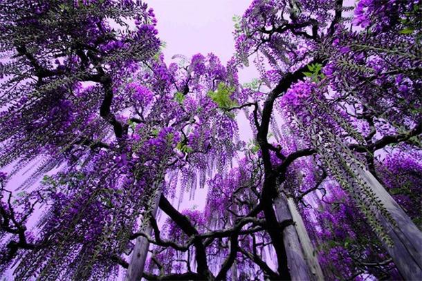 Дерево-лиана глициния