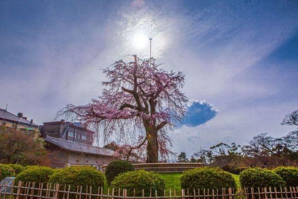 Цветущая сакура парк Маруяма-Коен