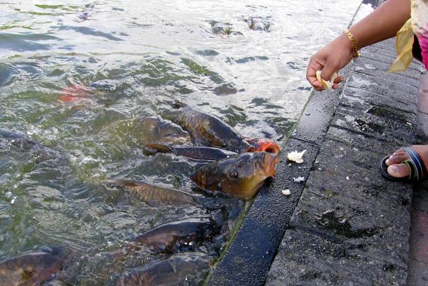Рыба в каналах Нидерландов практически ручная и непуганая