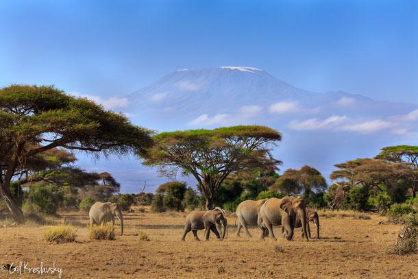 Слоны идут на водопой на фоне Килиманджаро, Национальный парк Амбосели, Кения