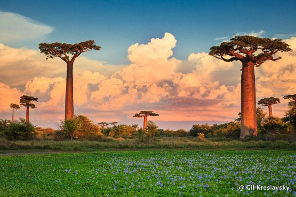 Цветущая алея баобабов, Мадагаскар