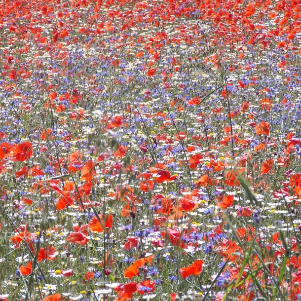 Цветущие поля Кастеллуччо, Италия