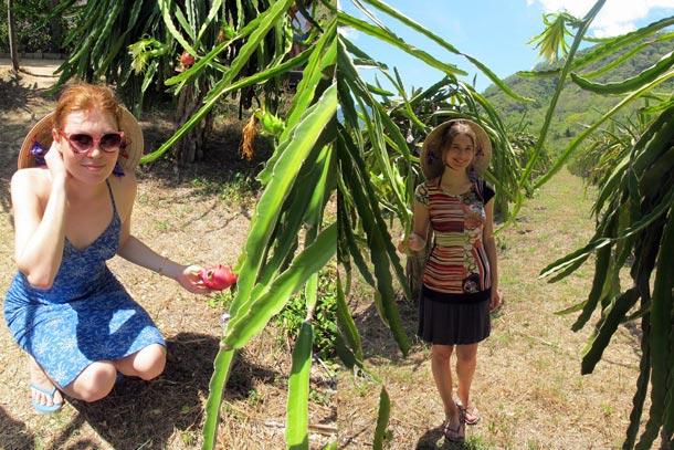 Вьетнам - крупнейший в мире экспортер драконьего фрукта
